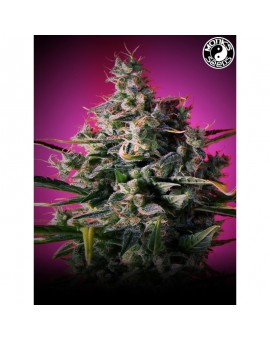 Auto Big Princess - Monks Seeds