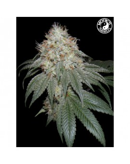 Auto Kush Monks - Monks Seeds