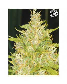Auto Weeping Widow - Monks Seeds