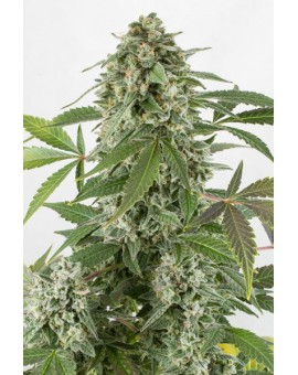 White Widow Auto - 3 szt. DINAFEM