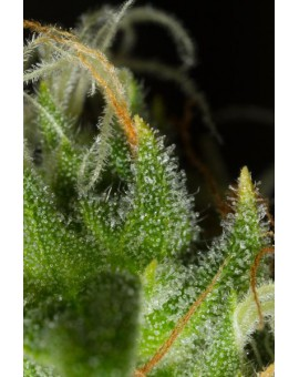 White Widow XXL Auto - 3 szt. DINAFEM
