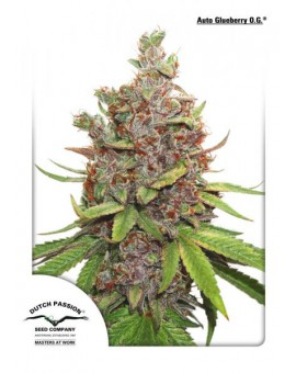 Auto Glueberry O.G. - Autoflower