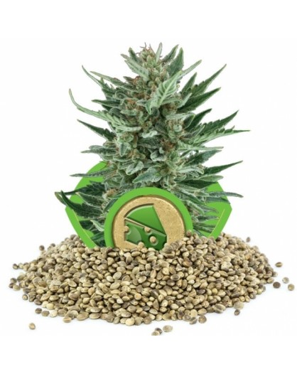 Royal Queen Seeds Cheese Automatic- 100szt.