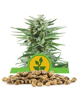 Queen Royal Seeds Easy Bud Bulk 100 szt.