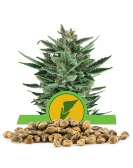 Royal Queen Seeds Quick One Bulk 100 szt.