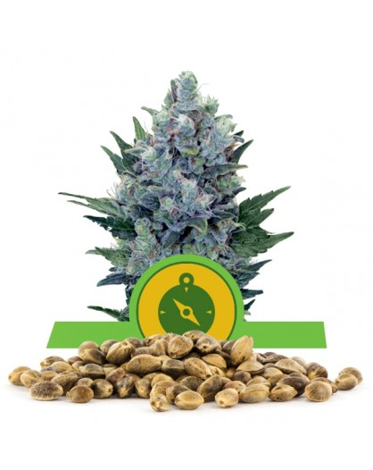 Royal Queen Seeds Northern Light Automatic 100szt.