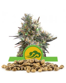 Royal Queen Seeds Bluematic Bulk 100szt.