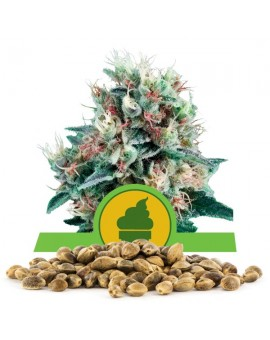 Royal Queen Seeds Creamatic 100szt.