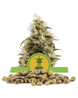 Royal Queen Seeds Royal Jack Automatic 100 szt.