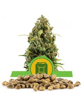 Royal Queen Seeds Diesel Automatic 100szt.
