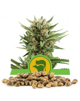 Royal Queen Seeds Sweet Skunk Automatic 100szt.