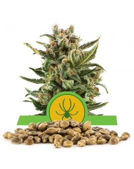 Royal Queen Seeds White Widow Automatic 100 szt.