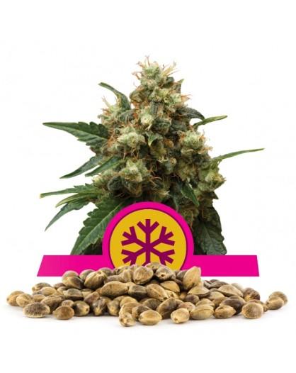 Royal Queen Seeds Ice Bulk - 100 szt