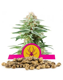 Royal Queen Seeds White Widow- 100 szt.