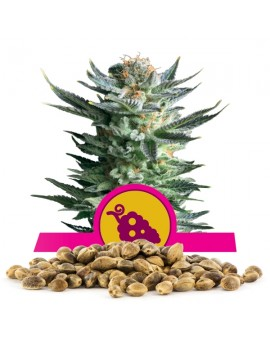 Royal Queen Seeds Fruit Spirit 100 szt.