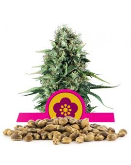 Royal Queen Seeds Powe Flower 100 szt.