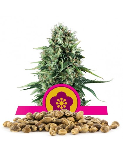 Royal Queen Seeds Powe Flower 100 szt.