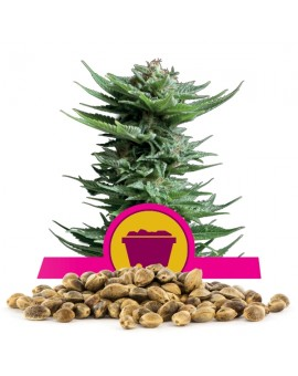 Royal Queen Seeds Shining Silver Haze 100 szt.