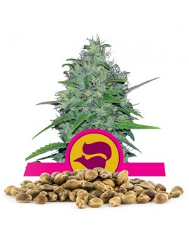 Royal Queen Seeds Skunk XL 100 szt.