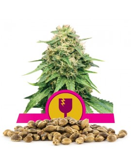 Royal Queen Seeds Critical 100 szt.
