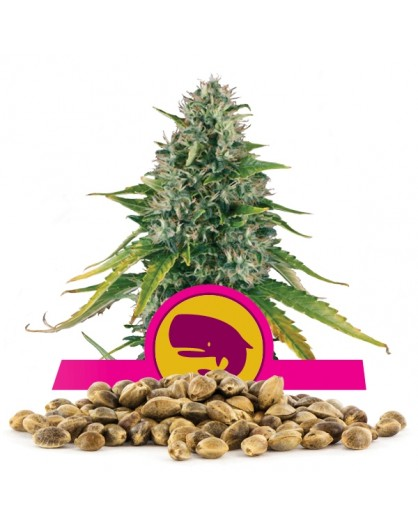 Royal Queen Seeds Moby 100 szt.