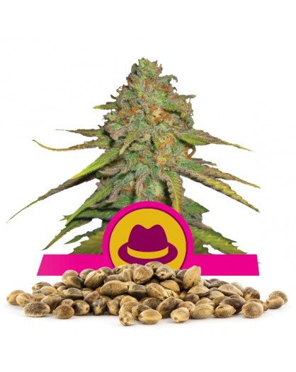 Royal Queen Seeds OG Kush 100 szt.