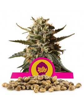 Royal Queen Seeds Bubblegum XL 100 szt.
