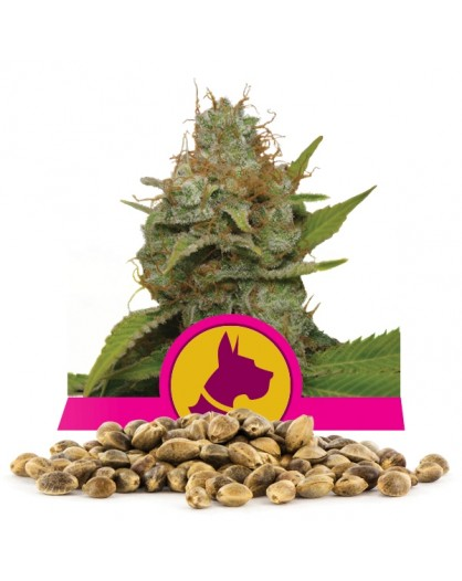 Royal Queen Seeds Kali Dog Bulk 100 szt.