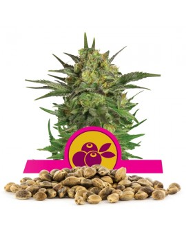 Royal Queen Seeds Haze Berry Bulk 100 szt.