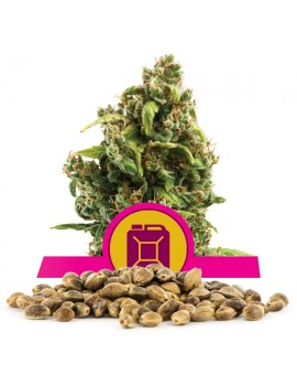 Royal Queen Seeds Sour Diesel100szt.