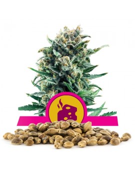 Royal Queen Seeds Blue Cheese Bulk 100 szt.