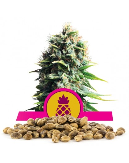 Royal Queen Seeds Pineapple Kush 100 szt.