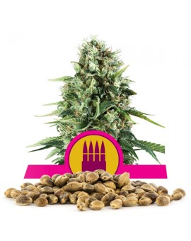 Royal Queen Seeds AK Bulk 100 szt.