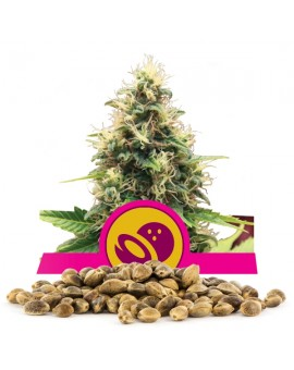 Royal Queen Seeds Somango XL Bulk 100 szt.