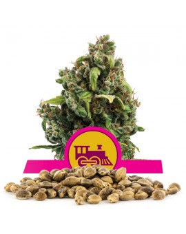 Royal Queen Seeds Candy Kush Express Version