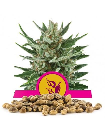 Royal Queen Seeds Wersja Speedy Chile Fast