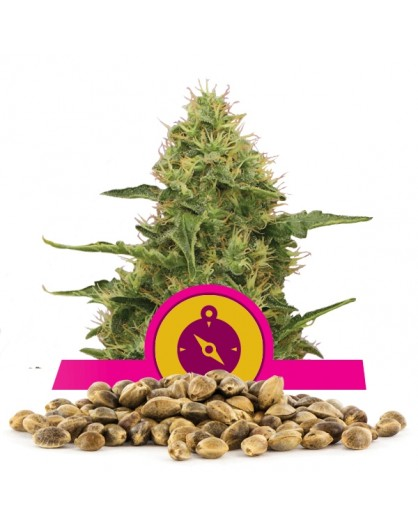 Royal Queen Seeds Northern Lights 100 szt.