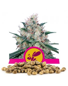 Royal Queen Seeds Honey Cream Fast Bulk 100 szt.