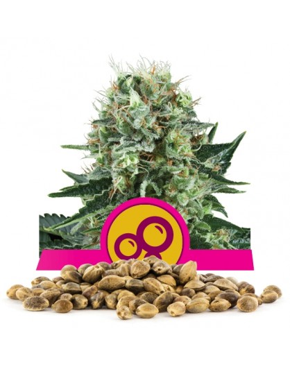 Royal Queen Seeds Bubble Kush Bulk 100 szt.