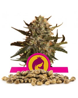 Royal Queen Seeds Royal Madre Bulk 100 szt.