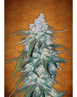 Fast Buds Pineapple Express 3 Seeds Auto