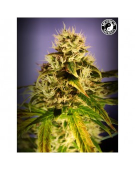Auto Amsterdam Star - Monks Seeds