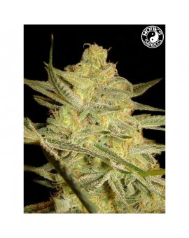 Auto Kalashnikov - Monks Seeds