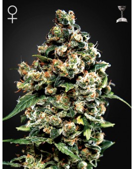 Jack Herer - 3szt. GREENHOUSE