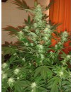 Jack Herer 3 nasiona FEM - GREENHOUSE