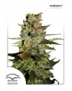 Auto Blueberry - 3szt. DUTCH PASSION