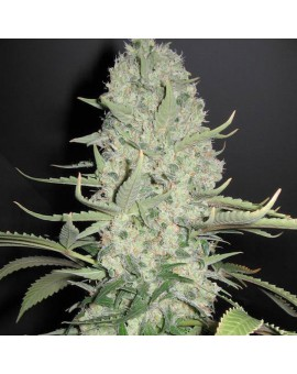 White Widow x Big Bud - 4 szt. FEMALESEEDS