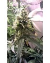 Blueberry Cheesecake - 1 szt FEMALESEEDS