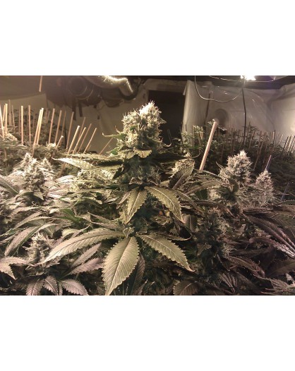 Acid - 3szt. PARADISE SEEDS