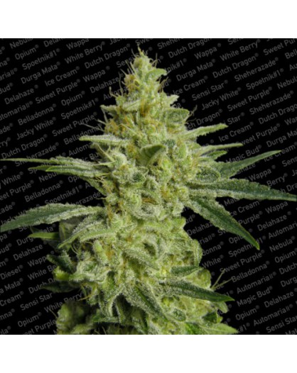 Allkush - 3szt. PARADISE SEEDS